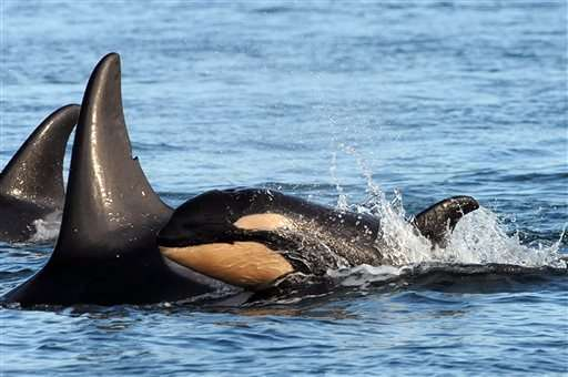 Another baby: 8th endangered orca spotted in Puget Sound