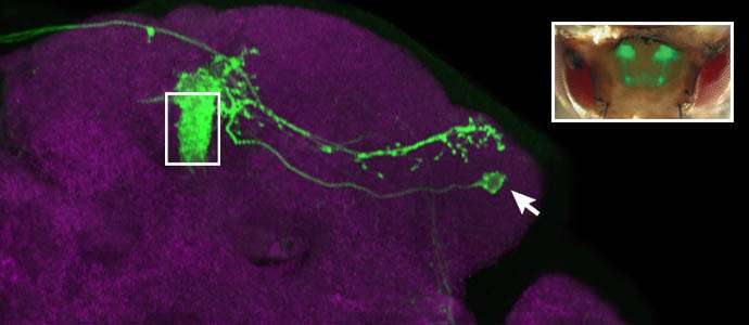 Approach or buzz off: Brain cells in fruit fly hold secret to individual odor preferences