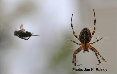 Arachnid Rapunzel: Researchers spin spider silk proteins into artificial silk