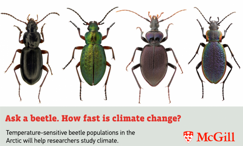 Arctic beetles may be ideal marker of climate change