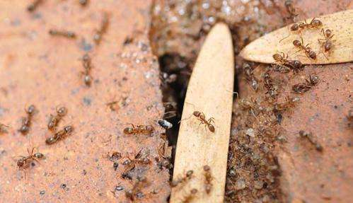 Argentine ants come marching in to California