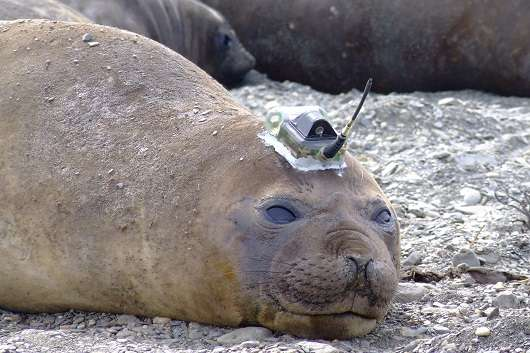 Army of sensor-equipped seals collects distant ocean data