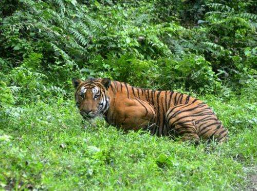 A Royal Bengal Tiger pauses in a jungle clearing in India's Kaziranga National Park on December 21, 2014