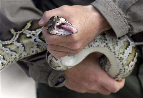 A sneaky snake: Teams hunt for rock pythons in Everglades