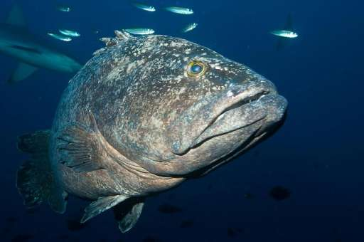 A spotted black grouper is seen in the waters of the Kermadec Islands, off of New Zealand's northeast coast