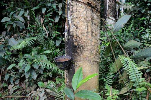 A steel cup is positioned below an incision in the trunk of a rubber tree to gather the raw latex at a rubber plantation in Bato