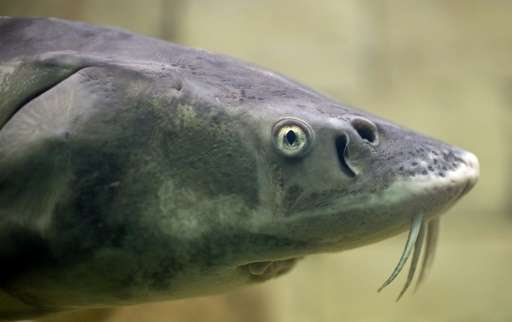 A sturgeon fish is seen at an aquarium in Ruse, north-east Bulgaria