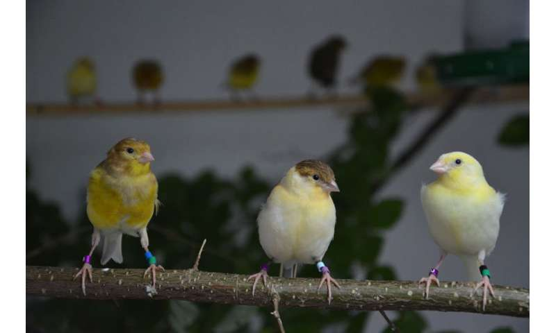 ate-hatched canaries learn their songs as well as early-hatched birds
