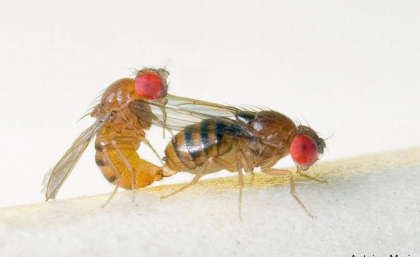Attractive female flies harmed by male sexual attention