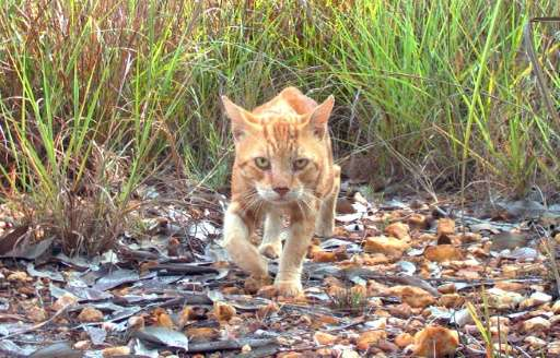 Australian plans to cull two million feral cats, like this one in the Northern Territory, have been criticised by Brigitte Bardo