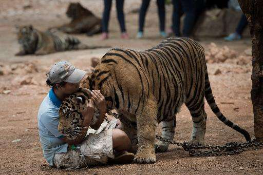 A warden hugs a tiger at The Tiger Temple in Kanchanaburi province, western Thailand, on April 24, 2015
