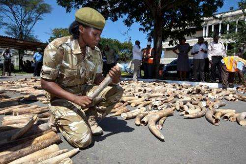 A Wildlife Service officer numbers elephant ivory tusks on July 3, 2013, after a container was seized in a private yard in the C