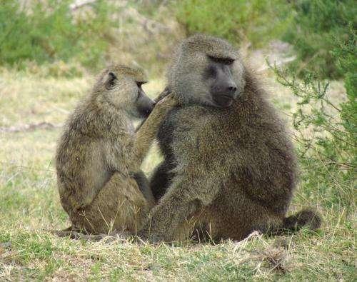 Baboon friends swap gut germs