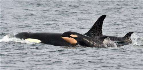 Baby 4: Newborn spotted with endangered Puget Sound orcas