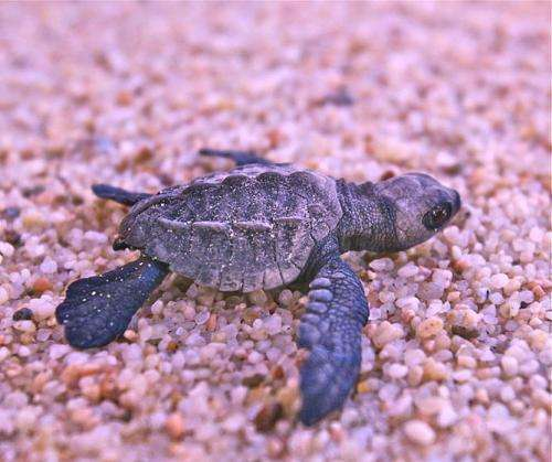 Baby sea turtles starved of oxygen by beach microbes