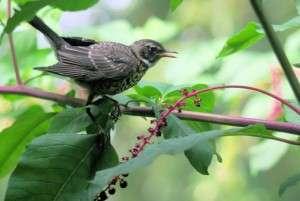 Backyards prove surprising havens for native birds