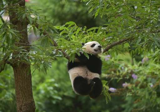 Bao Bao climbs a tree on her first birthday, at the National Zoo on August 23, 2014 in Washington, DC