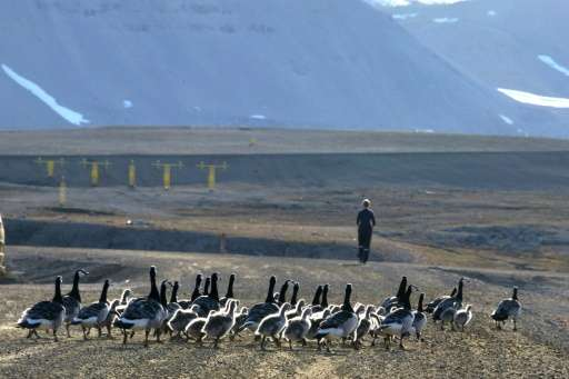 Barnacle geese pictured in the scientific base of Ny Alesund in the Svalbard archipelago