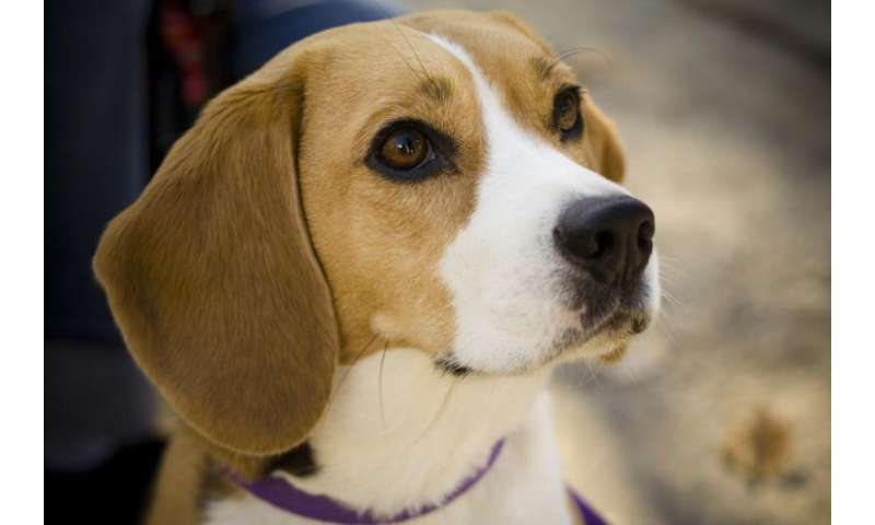 Beagles help hunt for genes associated with canine, human bladder cancer