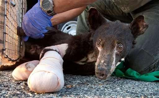 Bear cub badly burned in Washington blaze is back in wild