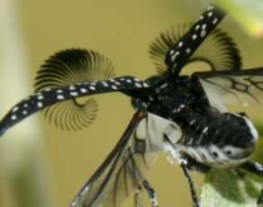 Beetle's antennae finds potential mates