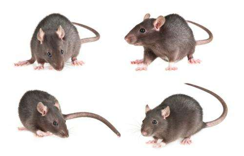 Behaviour study shows rats know how to repay kindness