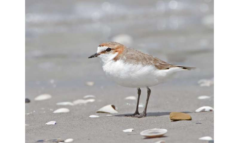 Being more colorful found to be disadvantage for female plover