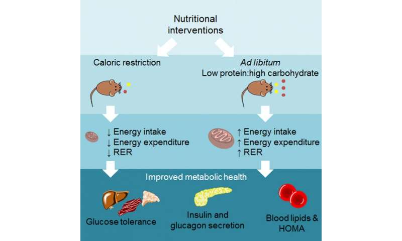 Benefits of calorie restriction on par with balancing protein and carb intake in mice