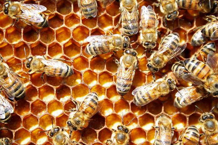 Beyond royal jelly: Study identifies plant chemical that determines a honey bee's caste