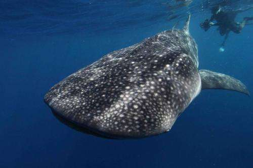 Biggest fish in the ocean receives international protection