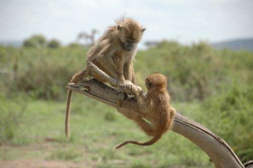 Birth during a drought correlated with poor health in baboons