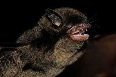 Black mouse-eared bat goes green: First case of a fruit-eating bat in the largest genus