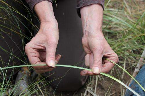 Blended ecological knowledge systems yield insight for managing beargrass