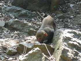 Body odor sets female rhesus monkeys apart