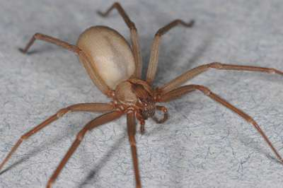 Book on brown recluse spiders dispels myths and misconceptions