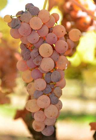 Botrytis 'noble rot' fungus reprograms wine grape metabolism