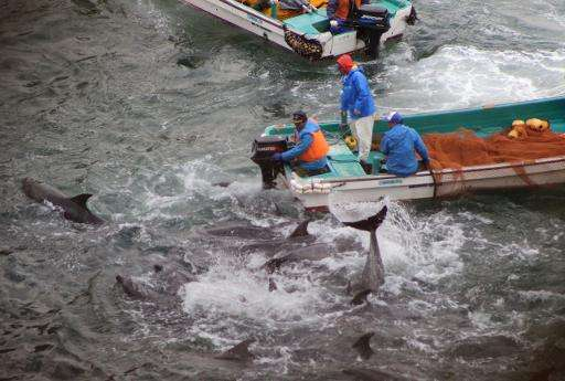 Bottlenose dolphins trapped in a cove by fishermen from the Japanese town of Taiji