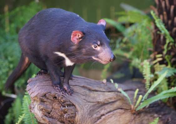 Bringing the Tasmanian devil back to mainland Australia would restore ecosystem health