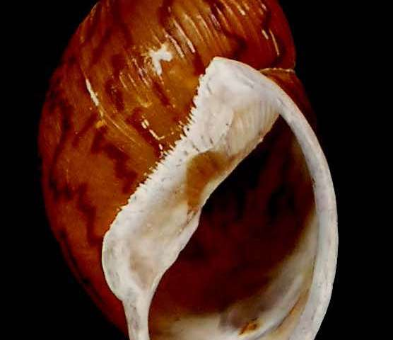 Brushing off the dust: New snail species found lying in a museum since the 19th century