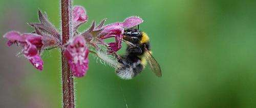 Bumblebees shy away from field-facing hedgerows