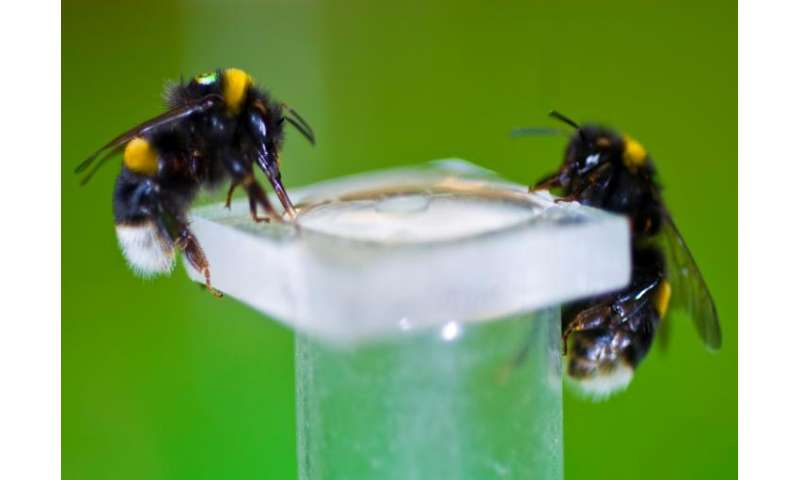 Bumblebees use nicotine to fight off parasites