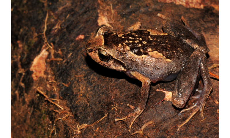Burrowers playing leapfrog? A new extraordinary diamond frog from Madagascar