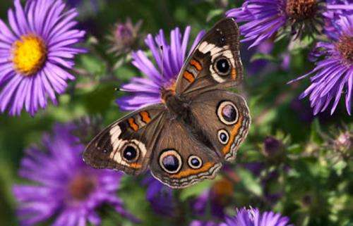 Butterflies fall victim to mosquito control