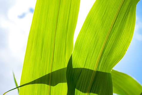 Can scientists hack photosynthesis to feed the world as population soars?