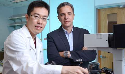 Cell that replenishes heart muscle found by UT Southwestern researchers