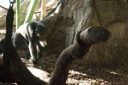 Chimpanzees will travel for preferred foods, innovate solutions