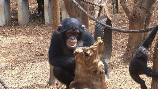 Chimps play at the on Tacugama Sanctuary in Sierra Leone which is under threat of closure