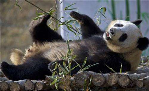China's latest survey finds increase in wild giant pandas
