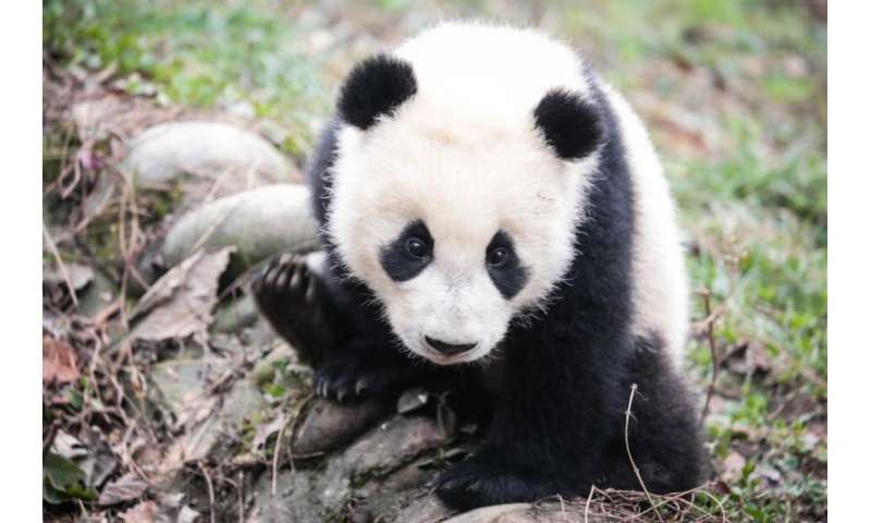 China's protection of giant pandas good for other species too