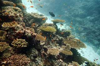 Christmas Island plate corals hit hard by disease